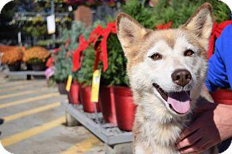 Siberian Husky/Husky Mix Dog for adoption in Roswell, Georgia - Tesla