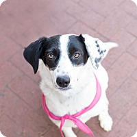 Pointer Mix Puppy for adoption in Washington, D.C. - Ava