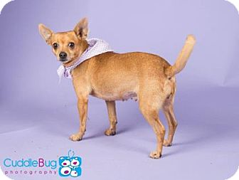 Chihuahua Mix Dog for adoption in Irving, Texas - Cema