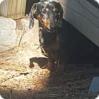 Adopt A Pet :: ROWDY - Lubbock, TX