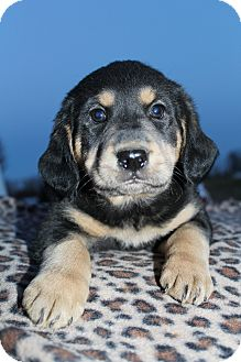 Rottweiler/Golden Retriever Mix Puppy for adoption in Hagerstown, Maryland - Toby Keith