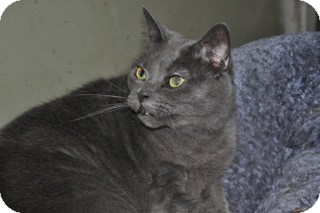 Domestic Shorthair Cat for adoption in La Canada Flintridge, California - Mrs. Fields