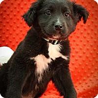 Adopt A Pet :: HuggyBear - Broomfield, CO