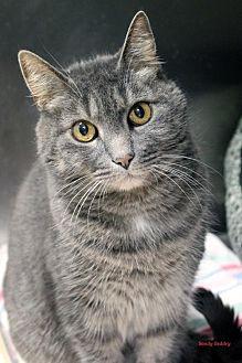 Domestic Shorthair Cat for adoption in Paris, Maine - Sabrina