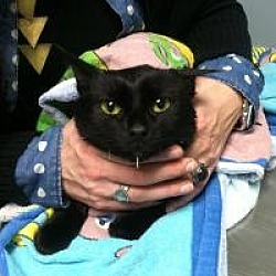 Photo 4 - Domestic Shorthair Cat for adoption in Medford, New Jersey - Boo Boo Kitty