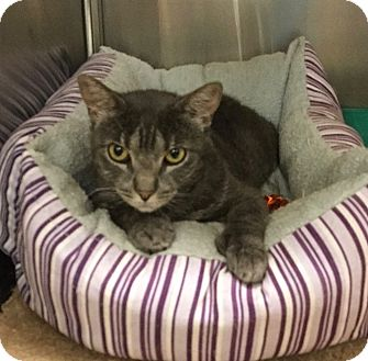 Hemingway/Polydactyl Cat for adoption in Colmar, Pennsylvania - Diane
