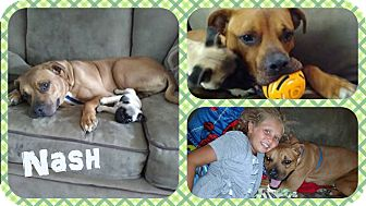Boxer/Labrador Retriever Mix Dog for adoption in DOVER, Ohio - Nash