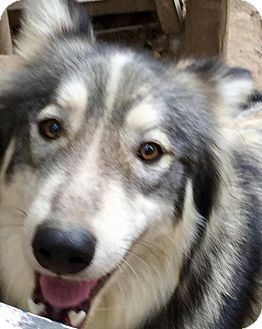 Siberian Husky Dog for adoption in Memphis, Tennessee - Hiko~UPDATE!