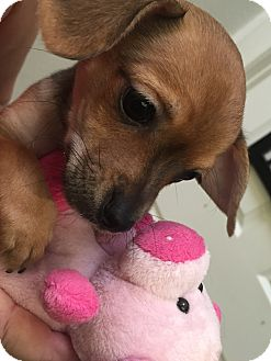Miniature Pinscher Mix Puppy for adoption in Valencia, California - Bean