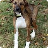 Boxer Mix Puppy for adoption in Madisonville, Tennessee - Trey