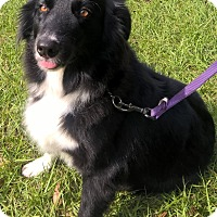 Australian Shepherd Dog for adoption in Orlando, Florida - Zoe