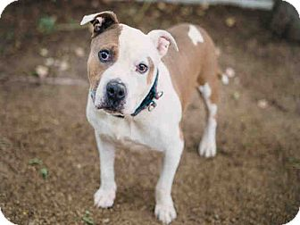 American Bulldog Mix Dog for adoption in Beverly Hills, California - Bumbles