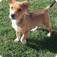 Adopt A Pet :: Saul - New Oxford, PA