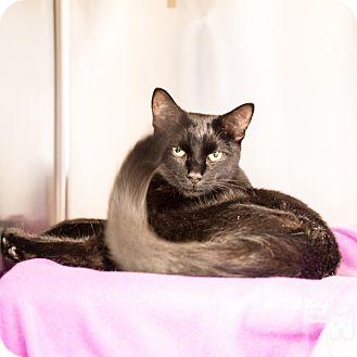 Domestic Shorthair Cat for adoption in Stillwater, Oklahoma - Elsie