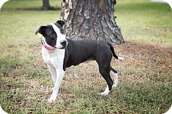 Hound (Unknown Type)/American Staffordshire Terrier Mix Dog for adoption in Baltimore, Maryland - Flora