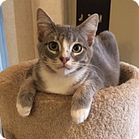 Adopt A Pet :: Ash - Chattanooga, TN