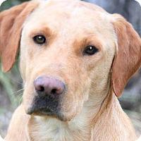 Adopt A Pet :: SCHAFFER(GORGEOUS PB LAB!!! - Wakefield, RI