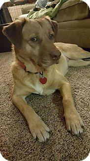 Retriever (Unknown Type)/Shepherd (Unknown Type) Mix Dog for adoption in Seattle, Washington - Amber
