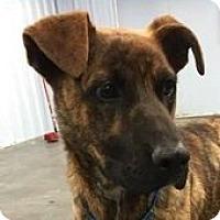 Adopt A Pet :: Dutch - Springdale, AR