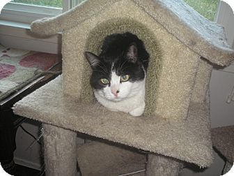 Domestic Shorthair Cat for adoption in Laguna Woods, California - Spencer
