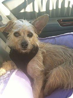 Cairn Terrier/Yorkie, Yorkshire Terrier Mix Dog for adoption in Los Angeles, California - Bella