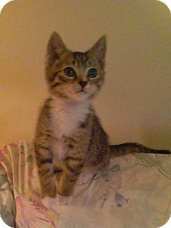 Domestic Shorthair Kitten for adoption in Horsham, Pennsylvania - Ringo