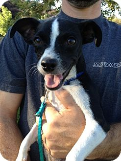 Rat Terrier/Beagle Mix Dog for adoption in Redlands, California - Mona: adoptapet.com/pet/9946043-redlands-california-rat-terrier-mix