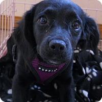 Adopt A Pet :: Doodles - dewey, AZ