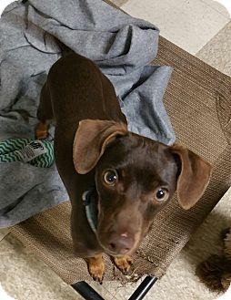 Chihuahua/Dachshund Mix Dog for adoption in Lodi, California - Kody