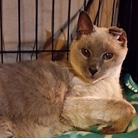 Siamese Cat for adoption in Rosamond, California - Buddy