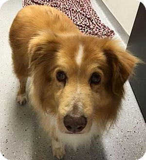 Nova Scotia Duck-Tolling Retriever Mix Dog for adoption in St John, Indiana - Donald