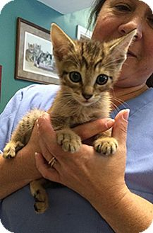 American Shorthair Kitten for adoption in Metairie, Louisiana - Landon