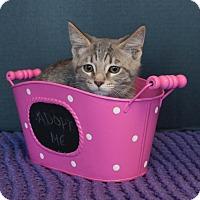 American Shorthair Kitten for adoption in Muskegon, Michigan - Maisie
