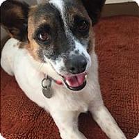 Terrier (Unknown Type, Medium) Mix Dog for adoption in San Luis Obispo, California - Aussie