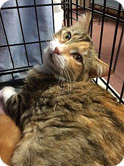 Domestic Longhair Cat for adoption in Lunenburg, Massachusetts - Diamond