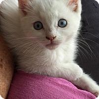 Adopt A Pet :: Marshmallow - Alamo, CA