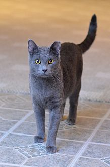 Domestic Shorthair Cat for adoption in St. Louis, Missouri - Remus