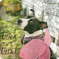 Terrier (Unknown Type, Medium)/Pit Bull Terrier Mix Dog for adoption in Cleveland, Ohio - Strudel