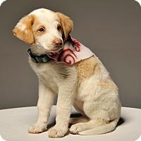 Adopt A Pet :: Rosie - Crossville, TN