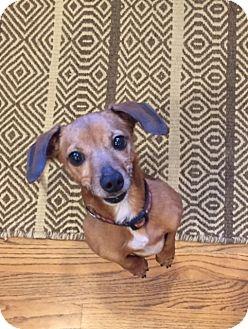 Dachshund/Chihuahua Mix Dog for adoption in Alpharetta, Georgia - Maple