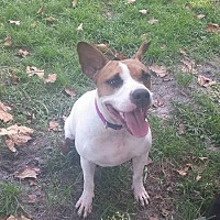 English Bulldog/Pointer Mix Dog for adoption in Tampa, Florida - Dahlia