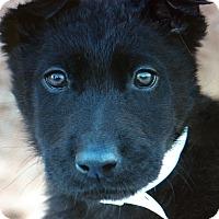 Adopt A Pet :: DOLLY VON KENTRE - Los Angeles, CA