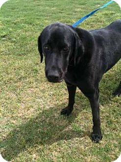 Labrador Retriever Mix Dog for adoption in Southampton, Pennsylvania - Ophelia