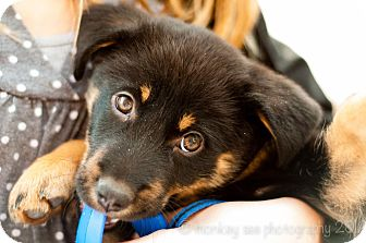 Chow Chow/Rottweiler Mix Puppy for adoption in Smithfield, North ...