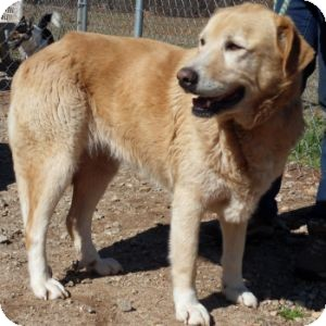 Labrador Retriever/Great Pyrenees Mix Dog for adoption in Athens, Georgia - Shiloh