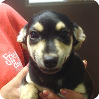 Chihuahua Mix Puppy for adoption in baltimore, Maryland - Regan
