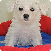 Adopt A Pet :: Brooklyn - La Habra Heights, CA
