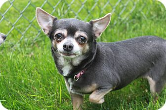 chihuahua rescue wisconsin appleton wi chihuahua mix meet midget a dog for adoption 4637
