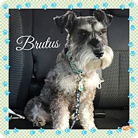 Adopt A Pet :: Brutus~ADOPTION PENDING - Sharonville, OH
