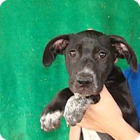 Adopt A Pet :: Flash - Oviedo, FL